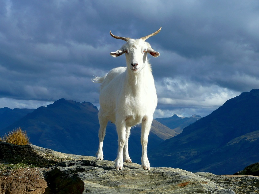 Chivo, a goat over a mountain